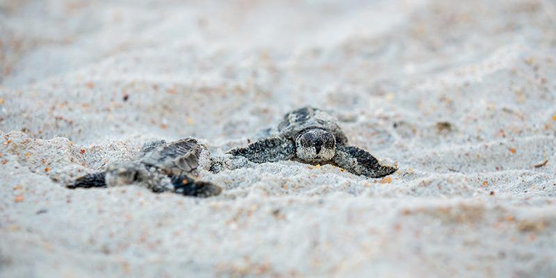 Turtle Release Season In Puerto Vallarta