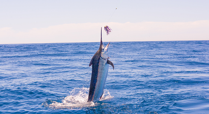 The World S Largest Marlin Fishing Tournament